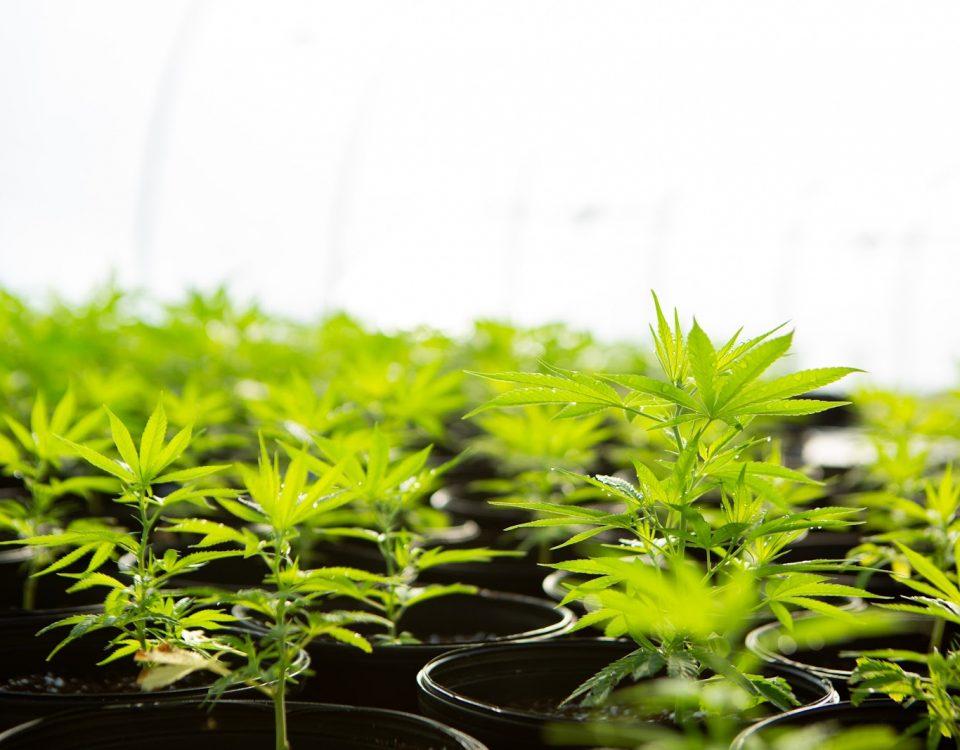 FDA is Evaluating Hemp - Rooted Hemp Co.